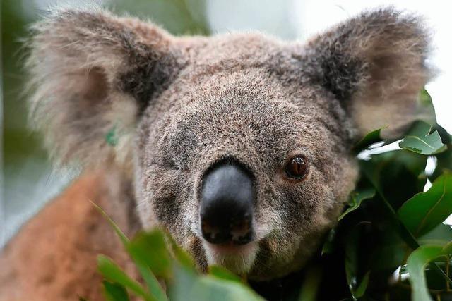Australien will knuffige Tiere mit Millionenprogramm besser schützen