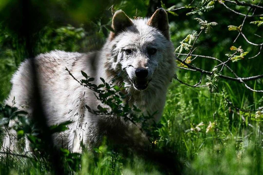 Er ist wieder da: Schwarzwälder Landwi... die Rückkehr des Wolfes (Symbolbild).  | Foto: AFP
