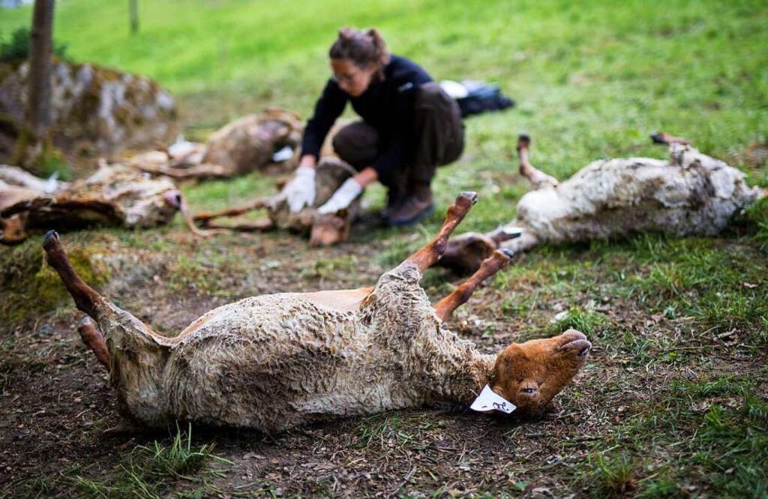 Zahlreiche tote Schafe werden in Bad W...ch für die toten Tiere verantwortlich.  | Foto: dpa
