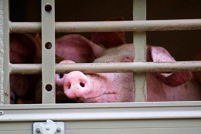 Sportliches Schwein will nicht zum Metzger