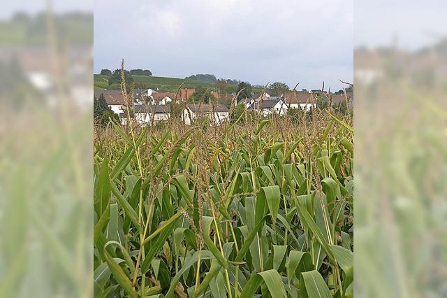 Durch Maisfelder quasi eingekreist