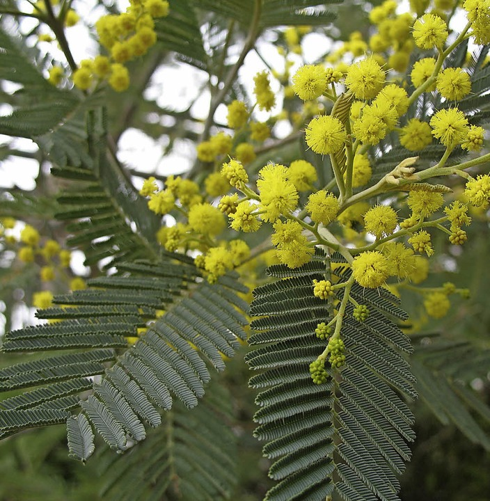 Lernfähige Pflanze: Mimose   | Foto: Claudia Füßler