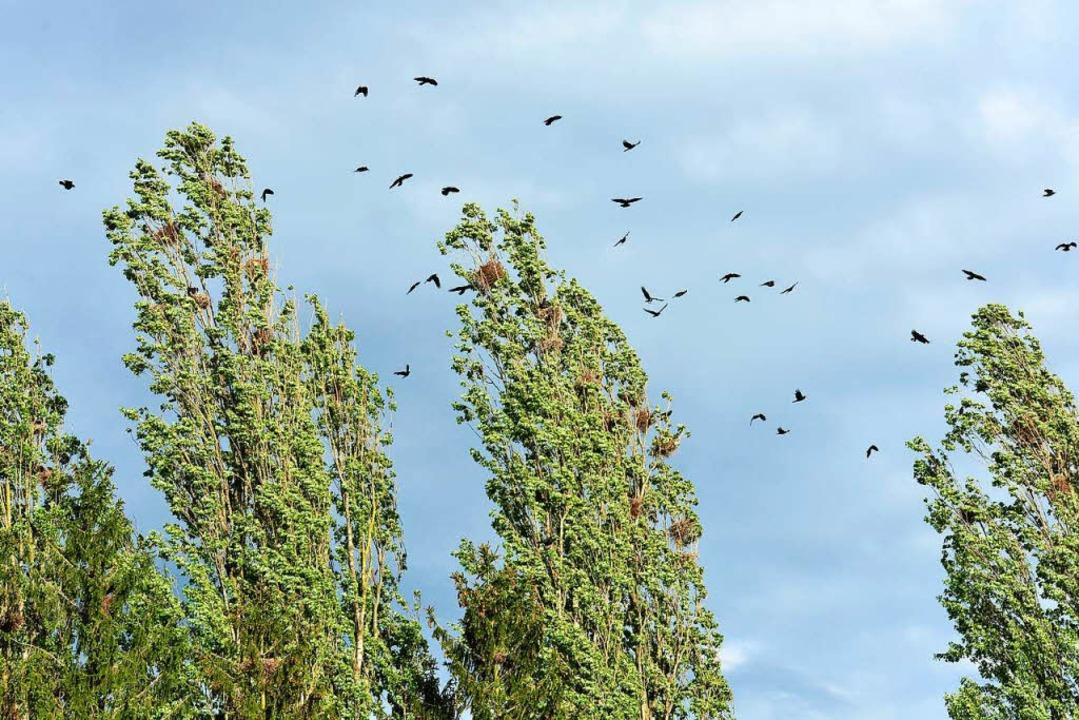 Da Krähen so gut wie immer in Scharen auftreten, können sie  zur Plage werden.  | Foto: Ingo Schneider