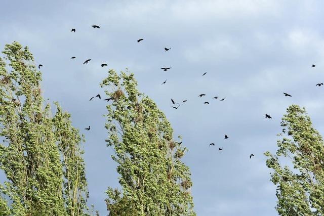 Krähen vermehren sich in Breisach rasant – und ihre Vergrämung gestaltet sich schwierig