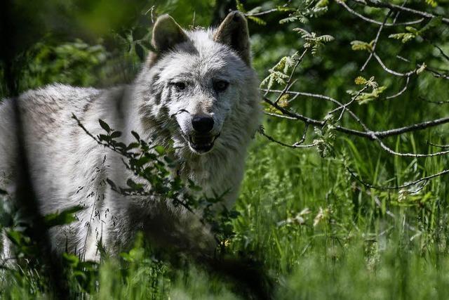 Kritische Töne zum Wolf