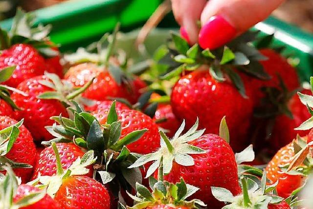 Was der niedrige Erdbeerpreis für die Landwirte bedeutet