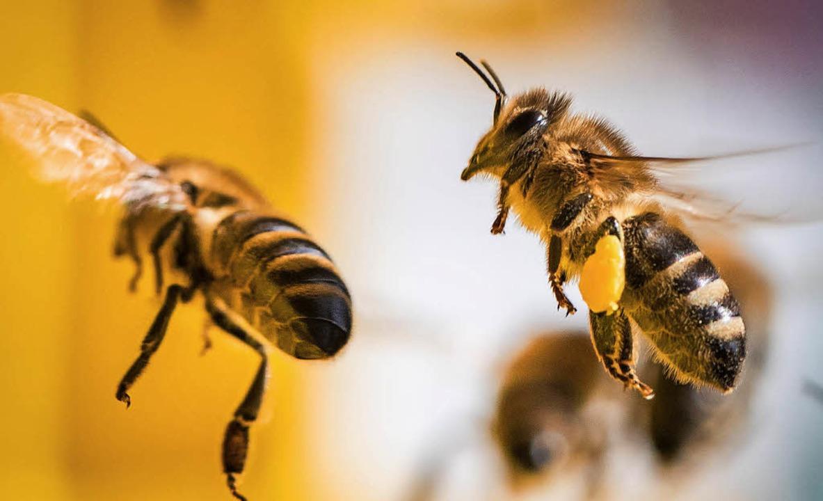 Wunderschön und unersetzlich für die Landwirtschaft: die Honigbiene.    | Foto: dpa
