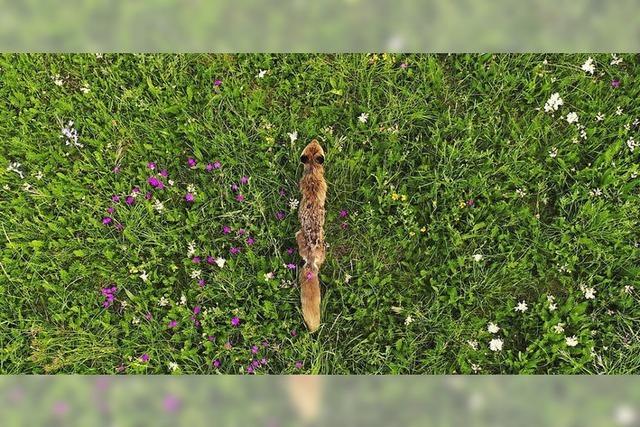 Junger Fuchs auf blühender Wiese