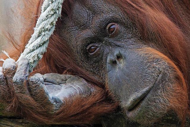 Orang-Utan eingeschläfert