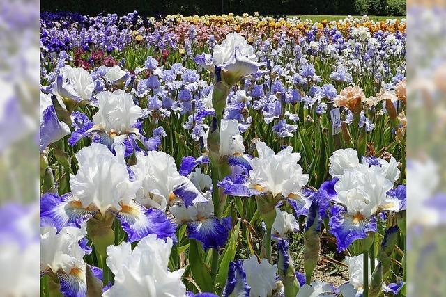 Iris-Tag in Hecklingen