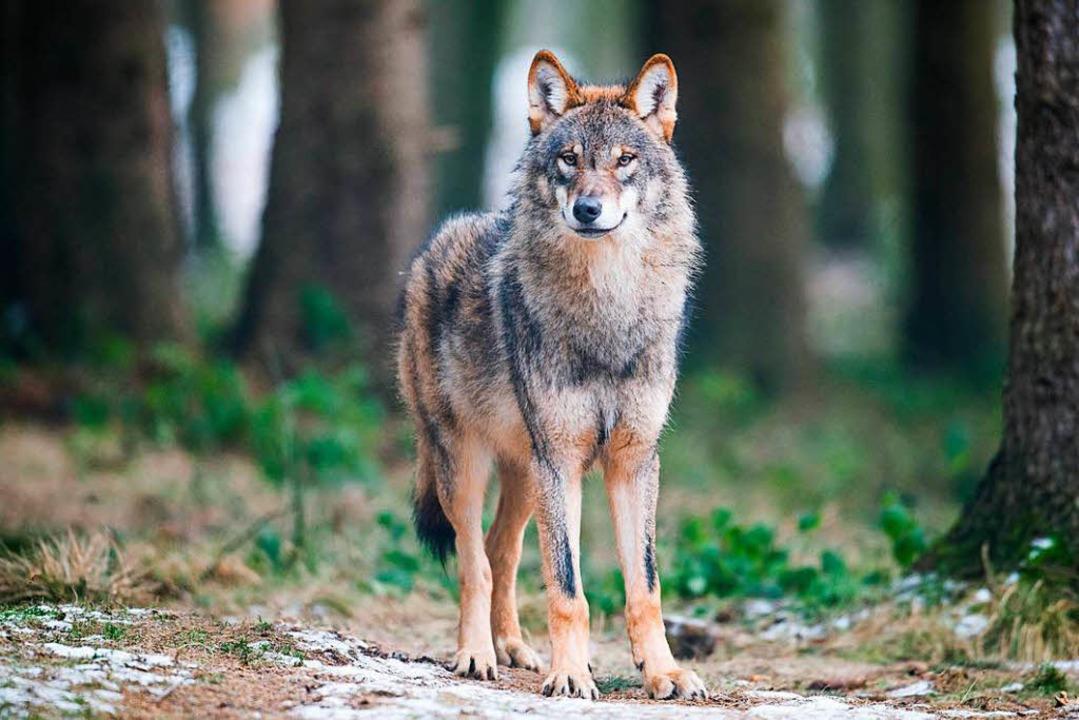 Er macht keine Probleme: Ein Wolf in e...mberg versetzt Landwirte in Aufregung.    Foto: dpa
