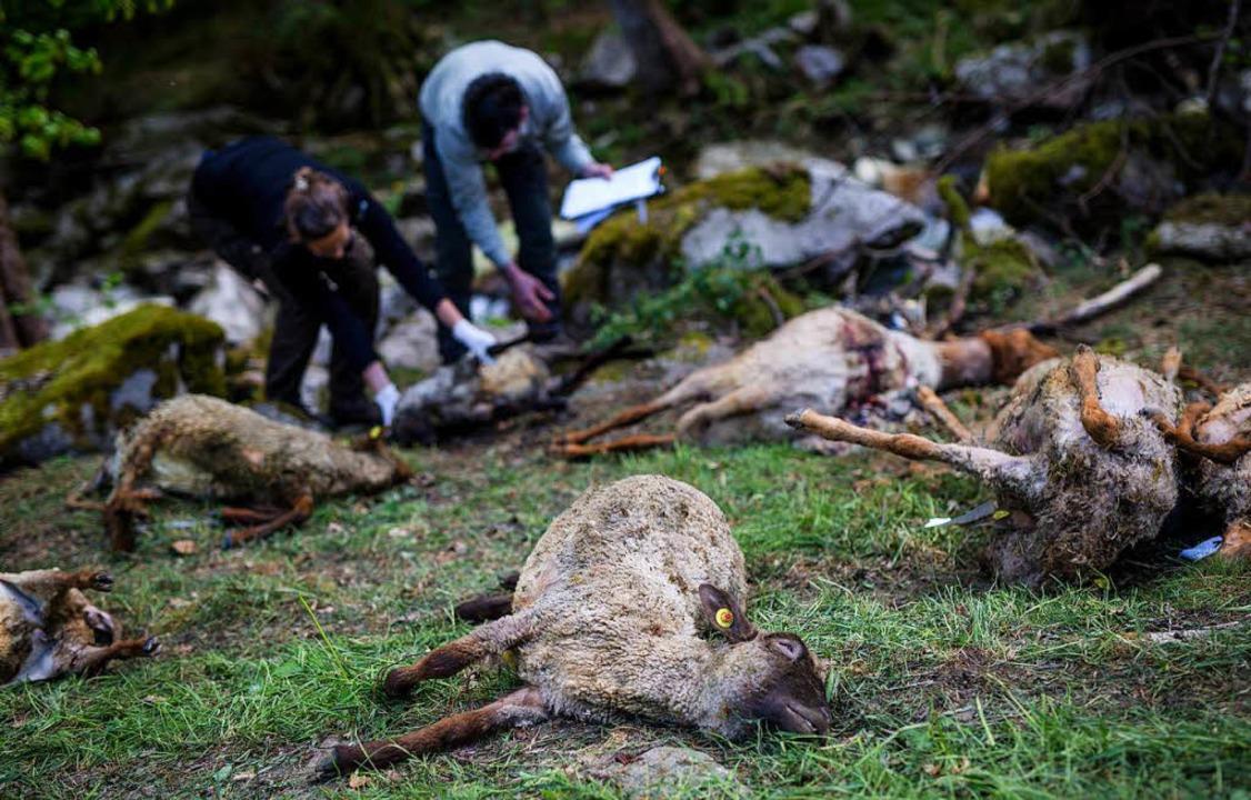 Ein Bild des Grauens: 44 Schafe starbe...anken auf der Flucht vor dem Raubtier.    Foto: dpa