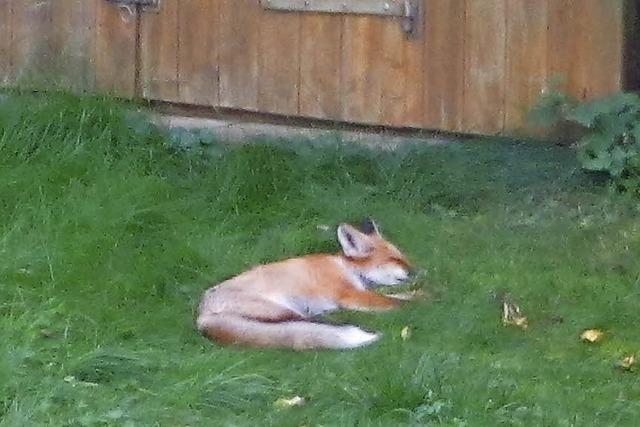 Fuchs macht Garten zur Müllkippe