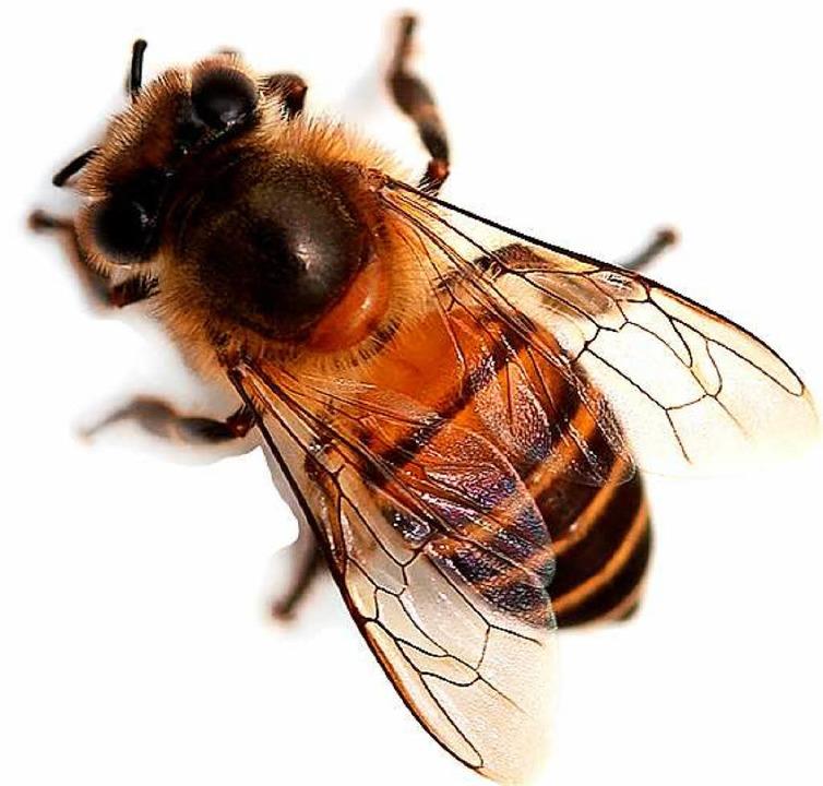 Eine Biene (Symbolfoto) hat einen Verkehrsunfall in Friesenheim Ausgelöst  | Foto: bee