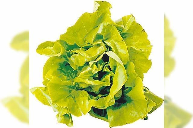 Gemüsediebe klauen Kopfsalat in Hausach in Schrebergarten