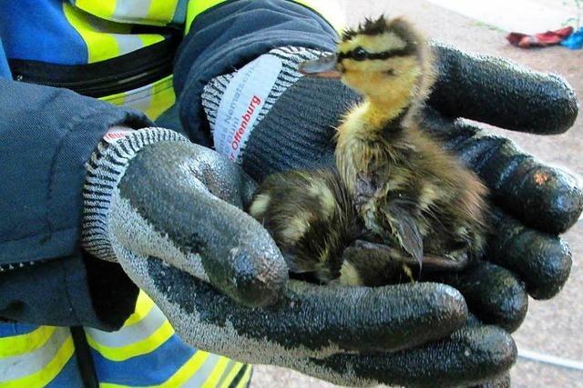 Ente gut, alles gut: Feuerwehr Offenburg rettet Stockentenfamilie