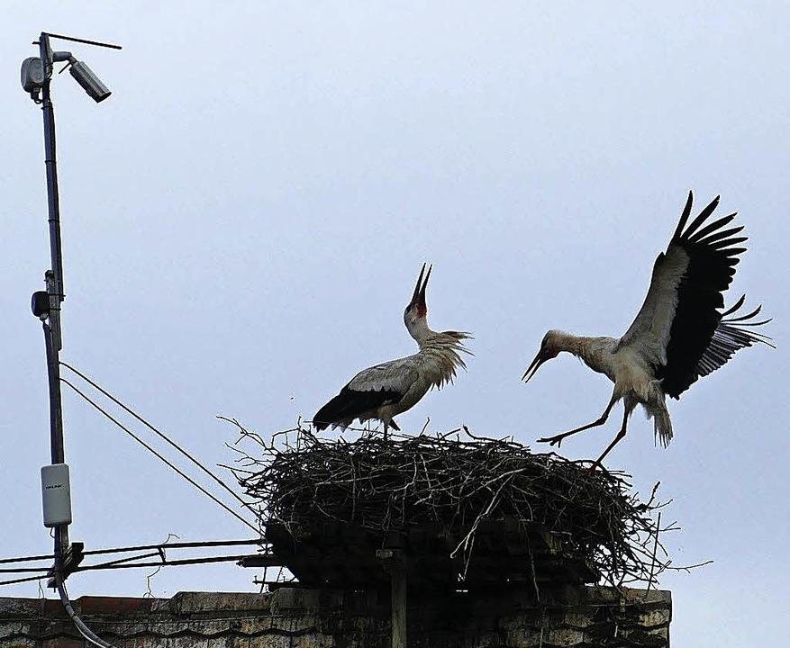 Die Storcheneltern auf dem Umkircher Kirchendach  | Foto: Lena Roser