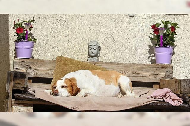Beagle döst zwischen Blumen