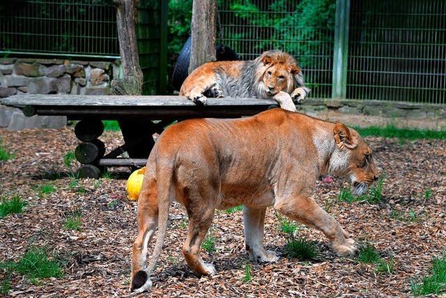 Raubtiere aus Eifel-Zoo ausgebrochen und wieder eingefangen