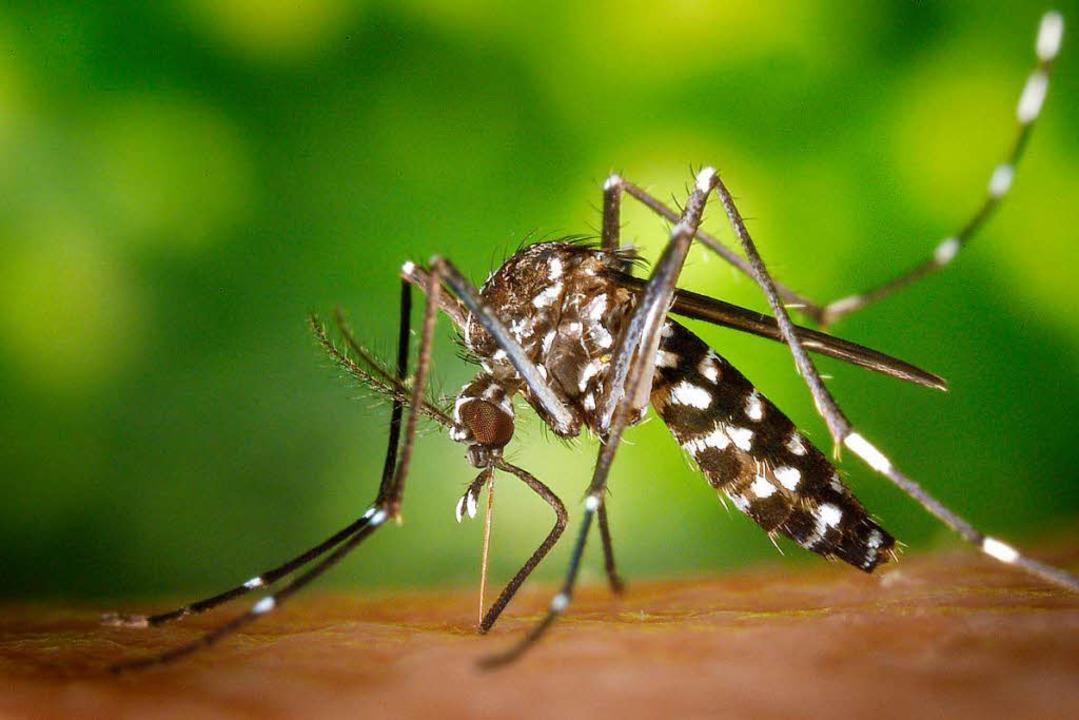 Von den USA über Italien in die Ortenau: die Asiatische Tigermücke  | Foto: DPA/Privat