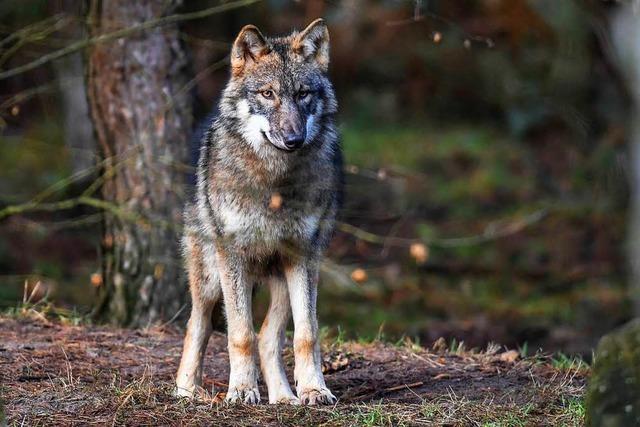 Erschossener Wolf im Schluchsee: Ermittlungen werden wohl eingestellt