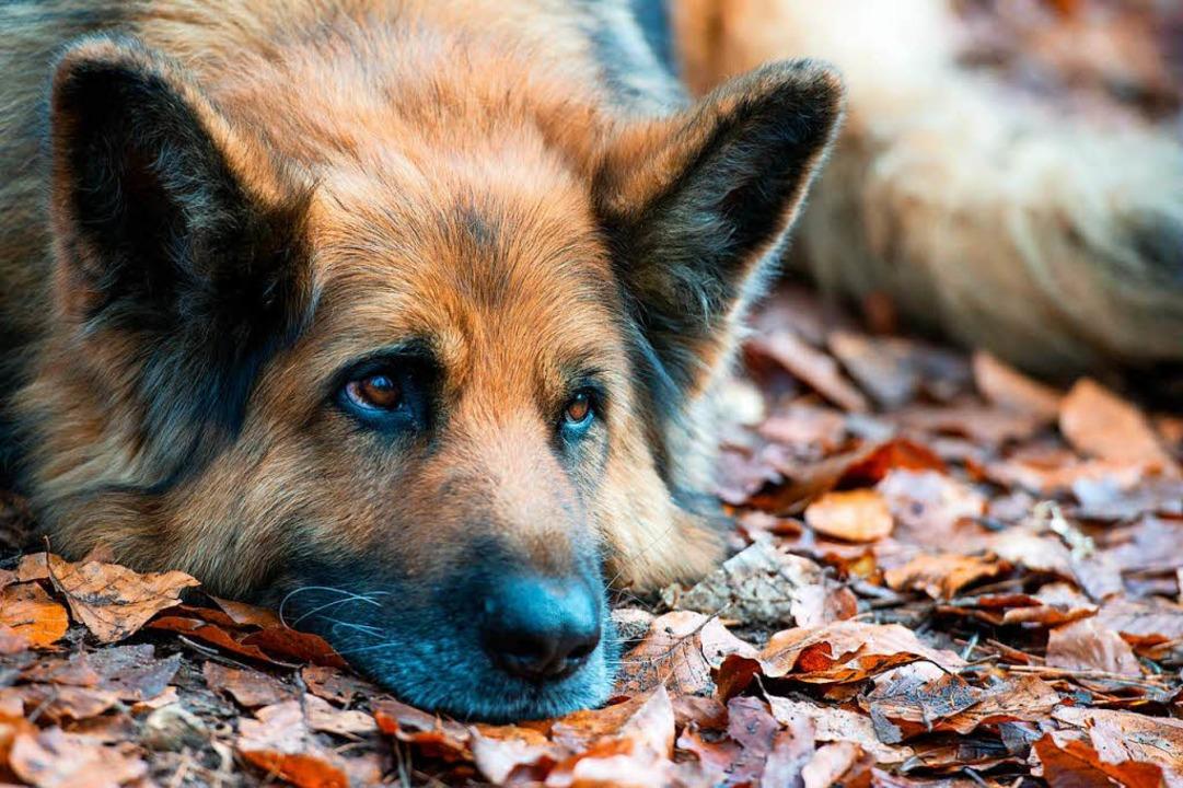 Ins Ohr und die Nase hat die Frau ihren Schäferhund gebissen. (Symbolbild)  | Foto: dpa