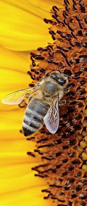 Mehr Futter für Bienen und andere Bestäuber ist ein Ziel des Projekts.   | Foto: dpa