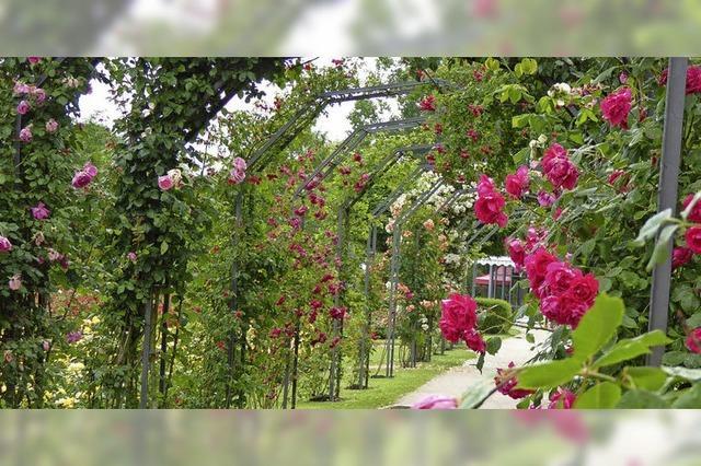 Blütezeit im Rosengarten