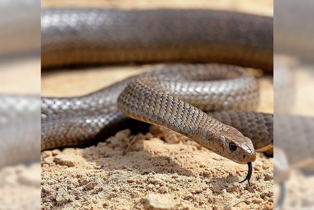 Gefährlichen Schlangenbiss überlebt