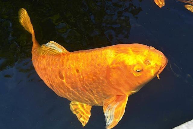 Wertvolle Koi-Karpfen und großer Goldfisch aus Teich geklaut