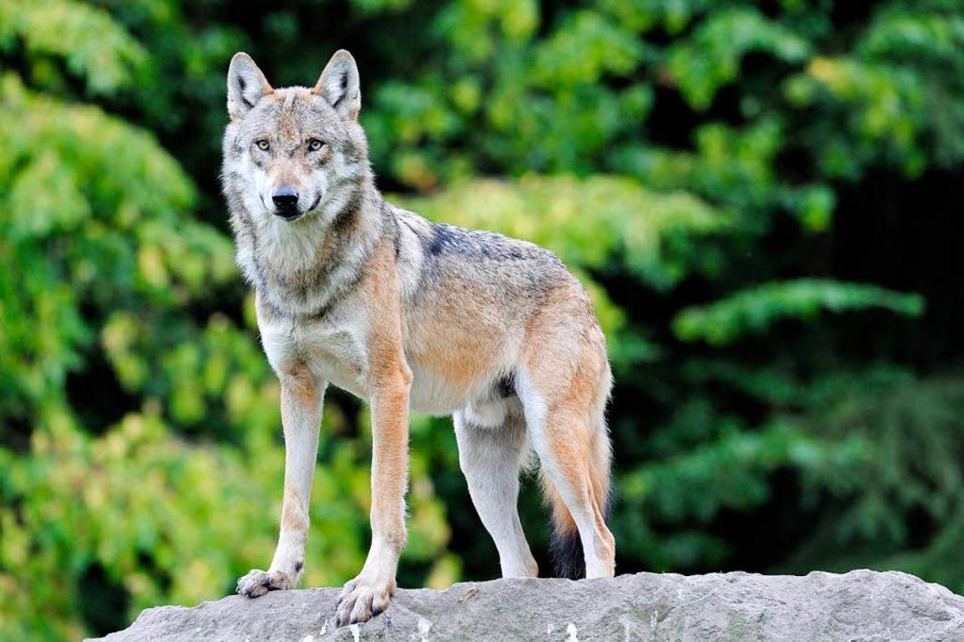 Ein Wolf. (Symbolbild)  | Foto: dpa