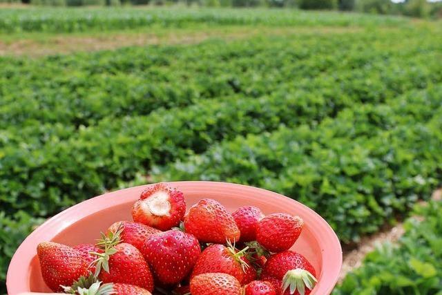 Selbstversuch: Erdbeeren zum Selbst-Pflücken in Rümmingen
