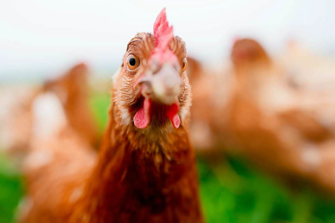 Dies ist ein deutsches Huhn (Symbolfot...rne als Glücksbringer mit ins Stadion.    Foto: Julian Stratenschulte