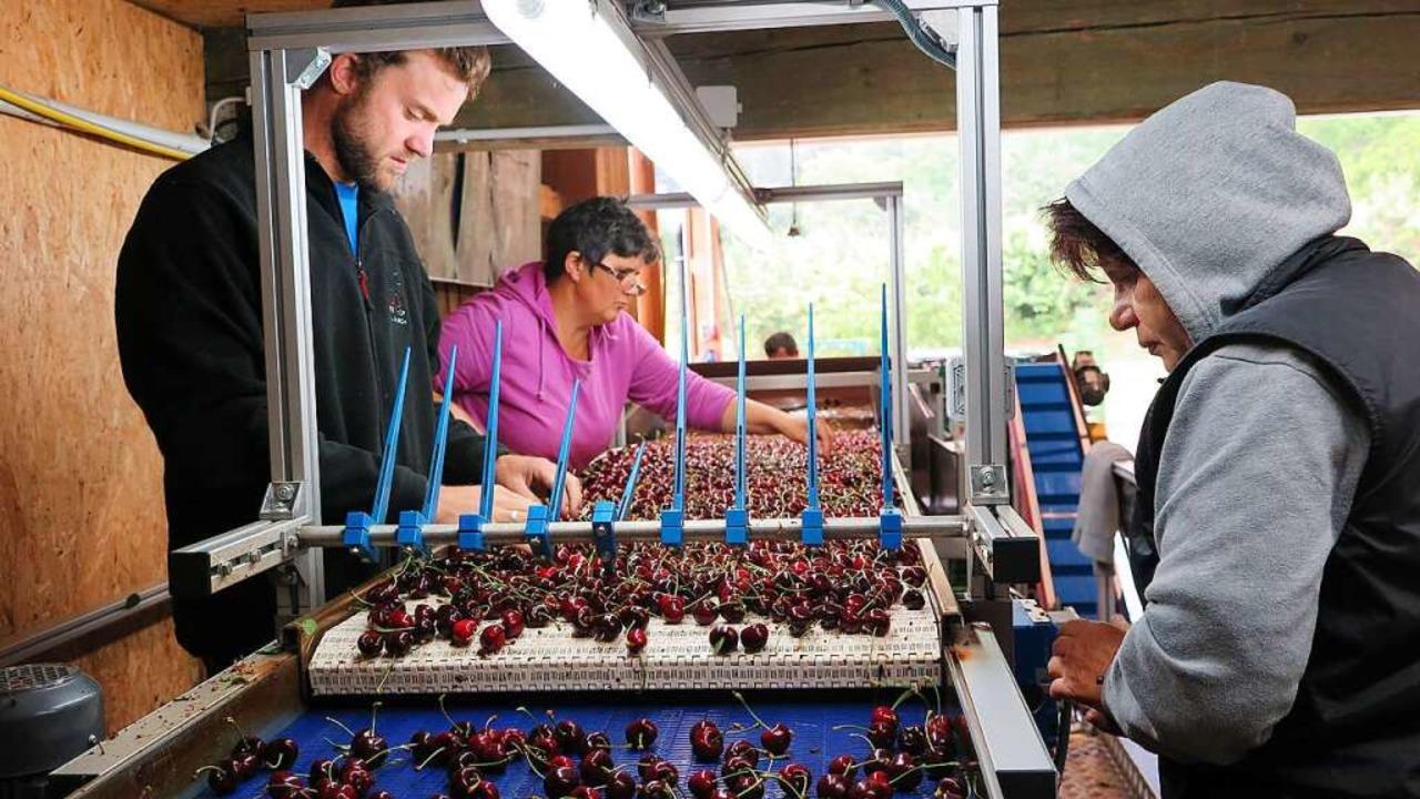 Mit einer Maschine werden die Kirschen nach Größe, Farbe und Qualität sortiert.   | Foto: Beatrice Ehrlich