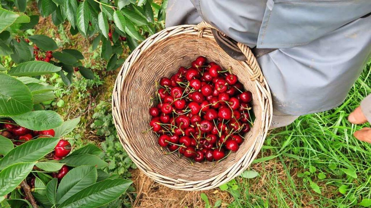 Wie früher werden die Kirschen in einen Korb gesammelt.  | Foto: Beatrice Ehrlich