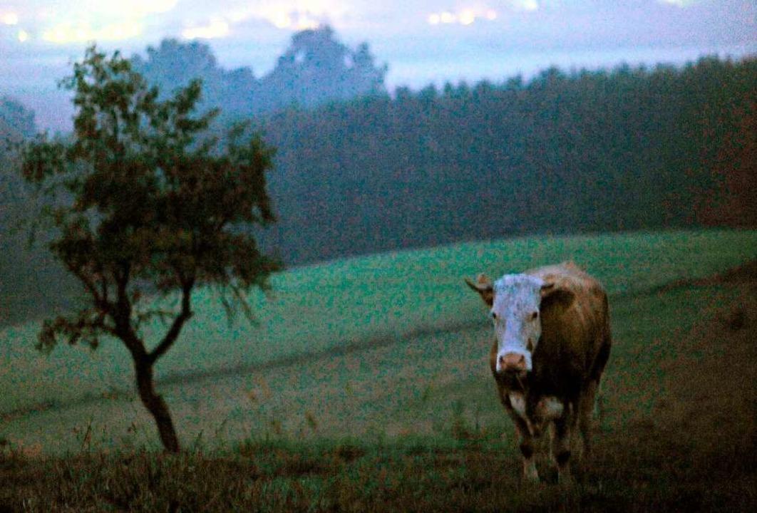 Die Kuh, die  die Freiheit suchte: Yvonne  auf einer Alm in Bayern  | Foto: Andreas Gebert