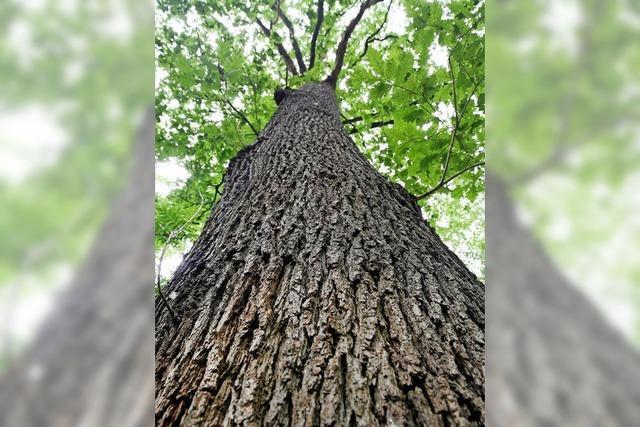 Eichenholz wird knapp