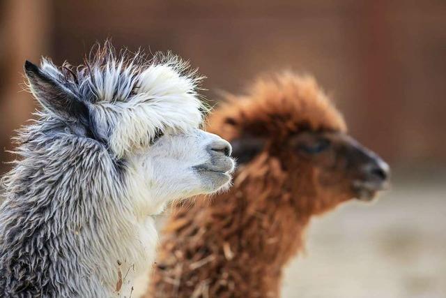 Alpakas helfen bei der Landschaftspflege in Menzenschwand