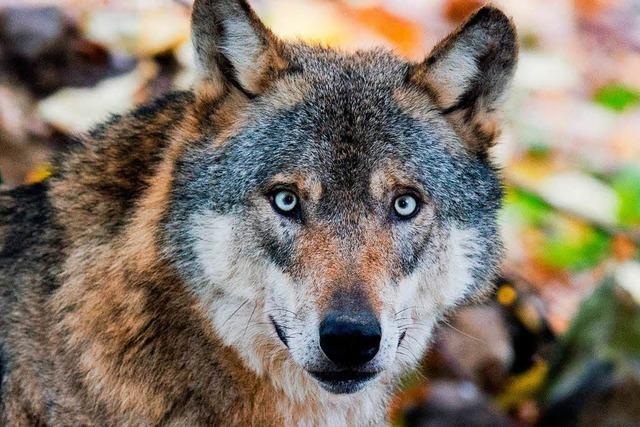 Ein Wolf soll in Polen zwei Kinder angegriffen haben