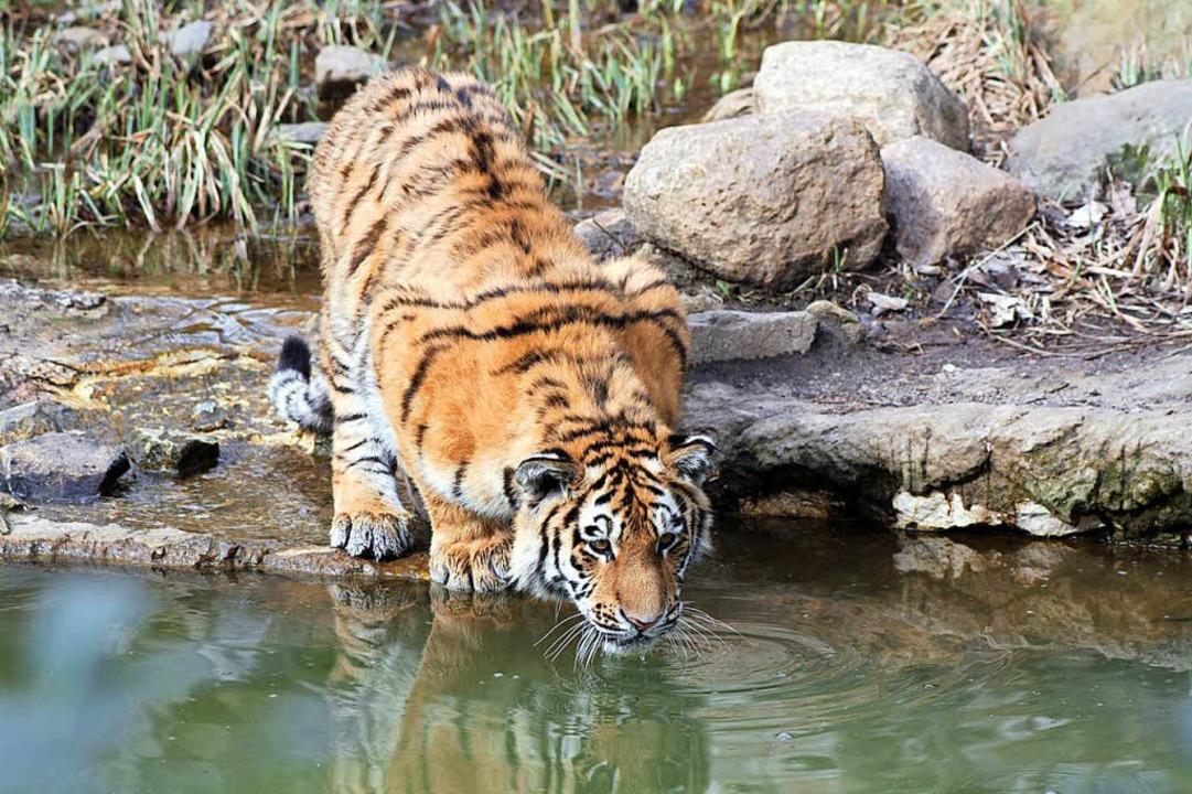 Eine von 850 Tierarten im Zoo Leipzig: Tiger    Foto: Zoo Leipzig