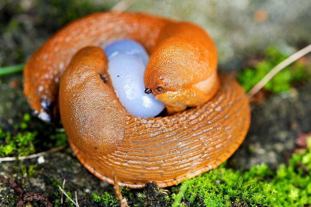Zwei spanische Wegschnecken finden zueinander.  | Foto: Marina Lohrbach  (stock.adobe.com)
