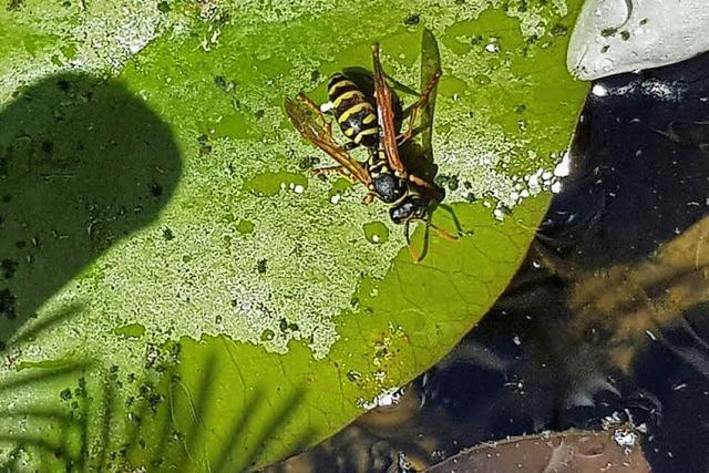 Zum durstlöschen pausieren auch Wespen in Rheinfelden