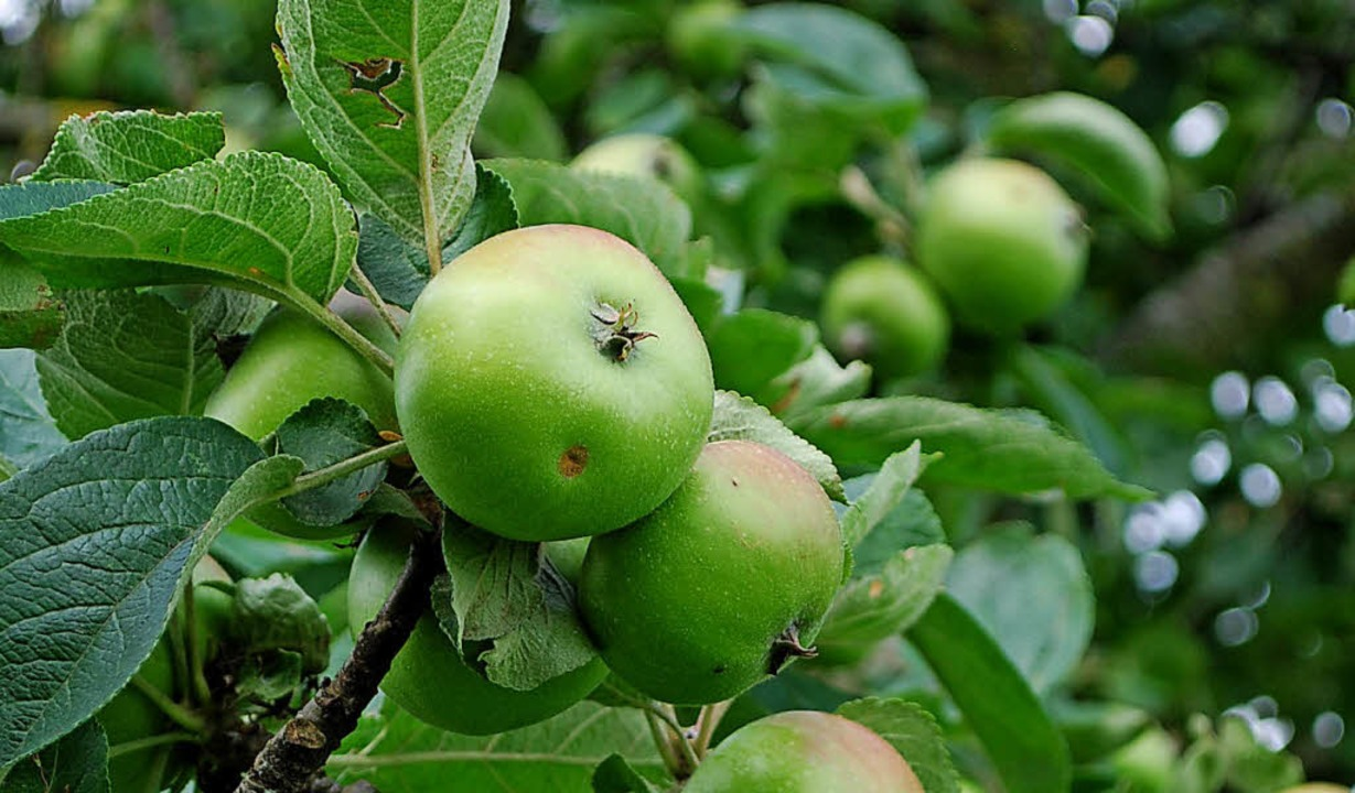 Die Apfelbäume am Tüllinger brauchen Pflege.   | Foto: Thomas Loisl Mink