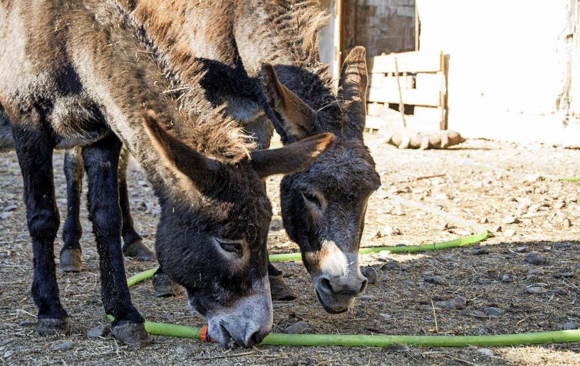 Die Esel leben jetzt ein geruhsames Le...em Gnadenhof bei Sibiu (Hermannstadt).    Foto: privat