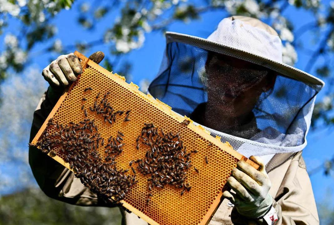 In Glottertal laden die Bienenexperten zum Imkerfest ein.   | Foto: dpa