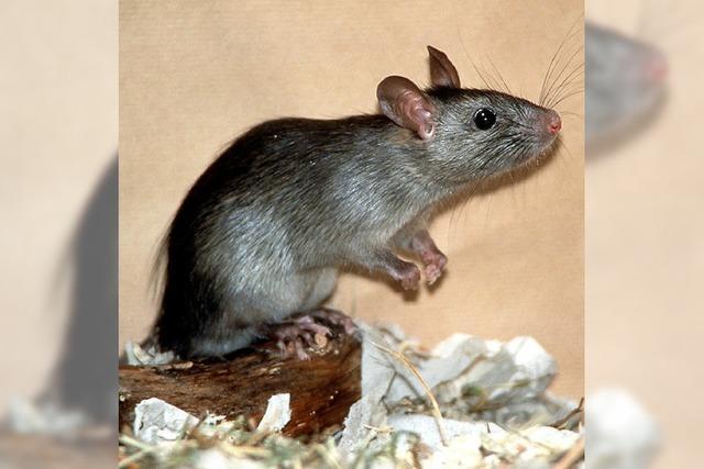 Mit Trockeneis gegen die Rattenplage
