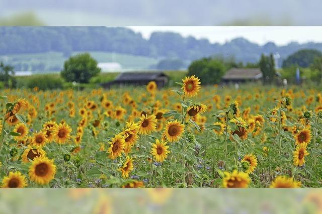 Die Sonne und die passenden Blumen strahlen um die Wette