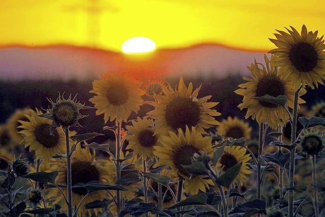 Sonnenuntergang mit Sonnenblumen