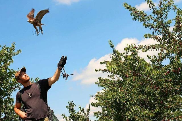 Falken sollen Kirschernte retten