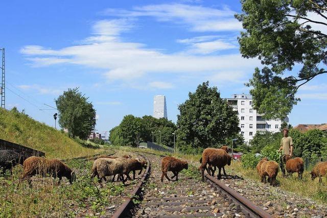 Die Deutsche Bahn lässt Schafe am Bahndamm mähen